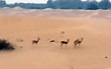 A small herd of dhabis (Arabian gazelles) spotted on the way to the campsite
